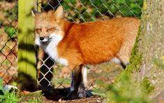 In a huge win for animal rights, Norway banned fur farms! The law will take full effect by 2025 and save the lives of about 700,000 minks and 110,000 foxes each year!