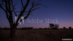 Stock Video of A scenic static sunset / day to night timelapse transition of a dead Acacia tree with the Milky Way twisting through a dark landscape scene and the moon rises to light up the landscape with focus pull at Adobe Stock Dark Landscape, Moon Rise, Milky Way, Acacia, Stock Video, Stock Footage, Light Up, Adobe, Southern