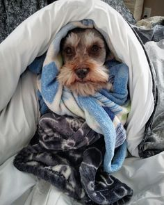 My Schnauzer, Ryker all snuggled up for the cold