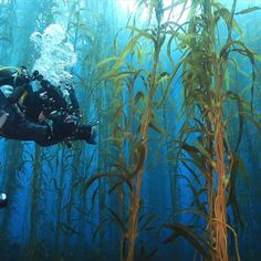 There are fears giant kelp forests are almost extinct, an inquiry into the impact of climate change on sea life hears.