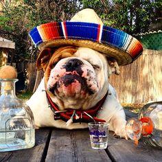 Bulldog Mexicano!! Andale!!!