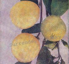 Lemon Tree Healing Medicinal Plants 1907 Edwardian Fruit Botanical Rotogravure
