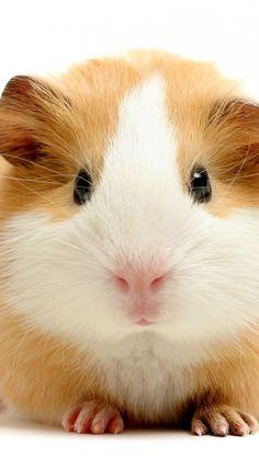 Eeeeerrrrrrrmmmmmmmaaaaaaahhhhhggggggeeeeeerrrrrrrdddddddd!!! I love it!!! I need this guinea pig!!!!!