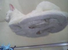 To funny.Hover Cat This is where cats' feet go when they settle into sphinx pose. Am finding this irrationally funny. Crazy Cat Lady, Crazy Cats, Cats On Glass Tables, Hover Cat, Funny Cute, Hilarious, Super Funny, Funny Animals, Cute Animals