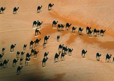 """At first glance, you would think those are black camels, right? Look closer! That's actually their shadows. The white """"lines"""" are the actual camel. It's a photo taken from directly above. How awesome!"""