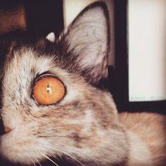 1/2 de perfeição! ♡ #Maat #Gatíssimos #Gatos #Amor #OlhosLaranjados #Cats #Love #EyesOrange #Catlovers
