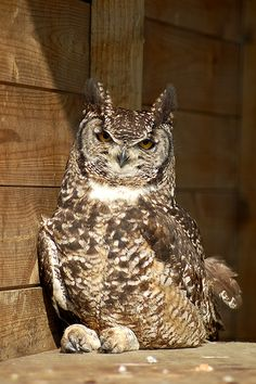 loveness - african spotted eagle owl