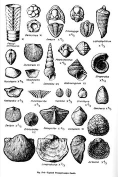 Fossil Identification Sheets for Maryland, Virginia, New