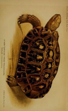 A new tortoise from Travancore - BioStor