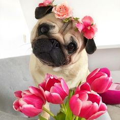 A beautiful flower for a brave little pug cute animals dogs Cute Animal Pictures, Dog Pictures, Dog Photos, Cute Baby Animals, Funny Animals, Mop Dog, Pugs And Kisses, Baby Pugs, Cute Dogs And Puppies