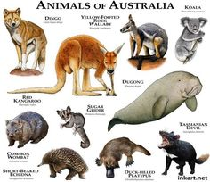 Fine art illustration of some of the mammals native to Australia Animals of Australia Animals Of The World, Animals And Pets, Cute Animals, Unique Animals, Mon Zoo, Les Reptiles, Extinct Animals, Animal Species, Endangered Species
