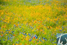 """Welcome All Again"" Brightly colored wildflowers in a meadow in early Spring."