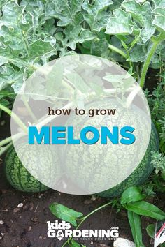 How to grow melons #gardening