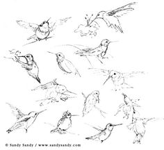 Hummingbirds - Drawings and Insights