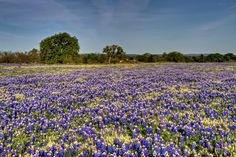 Might just be the only thing worth seeing in Texas...the bluebonnets in the springtime