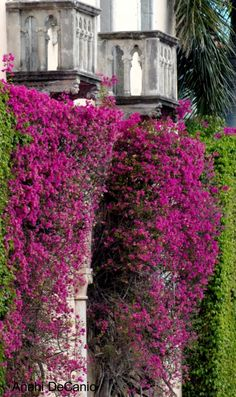 """Palm Beach Balconies in Bloom"" by MY PINK SOAP-BOX on Flickr - Palm Beach Balconies in Bloom with Bougainvillea"