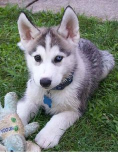 really cute baby husky puppies | Zoe Fans Blog