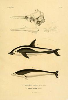 :: Voyage dans l'Amérique Méridionale. v.9. Paris : Pitois-Levrault,1835-47 ::