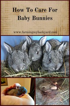 How To Care For Baby Bunnies - Farming My Backyard Baby Care how to take care of wild baby rabbits Wild Baby Rabbits, Wild Bunny, Bunny Bunny, Lop Bunnies, Raising Rabbits For Meat, Meat Rabbits, Rabbit Farm, Rabbit Cages, Rabbit Breeds