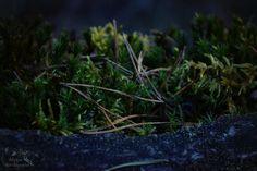 Весенние сумерки в северном лесу.  Spring evening in nordic forest. Vårkveld i nordisk skog.   Men call it 'The Wood, gods 'The Mane of the Field,' 'Seaweed of Hills' in Hel; 'Flame-Food' the giants, 'Fair-Limbed' the elves, 'The Wand' is it called by the Wanes.   Он Лес у людей, у богов - Грива Поля, в Хель - Поросль Склонов, Дрова он у турсов, У альвов - Ветвистый, У ванов он Прутья.