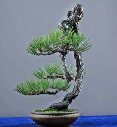 흑송 Indoor Bonsai Tree, Mini Bonsai, Bonsai Art, Bonsai Garden, Ikebana, Ancient Japanese Art, Juniper Bonsai, Bonsai Styles, Mulberry Tree