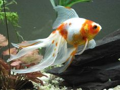 Tropical Fish Pictures: Popular Goldfish Types and Pictures