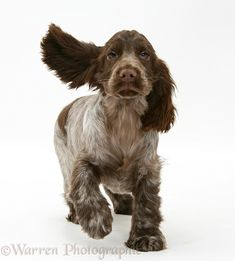 Chocolate Cocker Spaniel pup