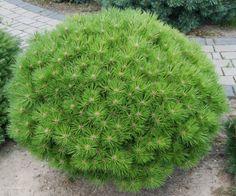 Törpe feketefenyő - Pinus nigra 'Bambino' Végmagassága 50-60 cm, törpe tűlevelű, lassan növekvő fajta. Alakja lekerekített, lapított gömb. Fehér rügyei különösen vonzóvá teszik főleg télen. Alakját metszés nélkül fenntartja. Kedveli a teljes napot, a jó vízelvezetésű talajt, nagyon ellenálló a szárazsággal szemben. Ideális a kisebb kertekben, valamint erkélyeken, teraszokon való tartásra.  2 literes konténerben   3.250 Ft