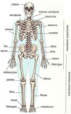 Ossos do Corpo Humano