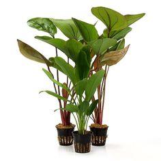 3 Wasserpflanzen (Echinodorus) für...