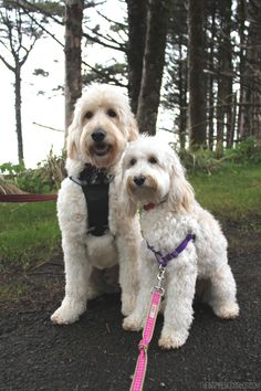 Jack (Goldendoodle) and Lily (Australian Labradoodle)