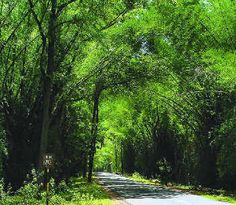 A green canopy over a road in Wayanad, Kerala