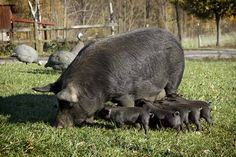 ALBC Rare Breed American Guinea Hog gilts