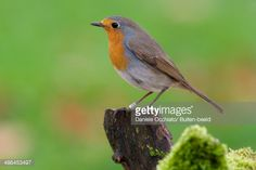 robin side view - Google Search