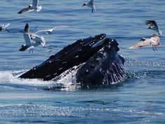 Humpback whale open-mouth feeding on Stellwagen Bank