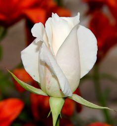 Magic rose... by Armen Gh, via 500px
