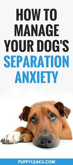 Does your dog panic when you leave? If so they're probably suffering from canine separation anxiety. Here's 5 tips for managing your dog's separation anxiety, including how to keep your dog calm when you're leaving and how to encourage your dog to be more independent. #dogs #dogtraining #dogadvice #dogtips via @puppyleaks