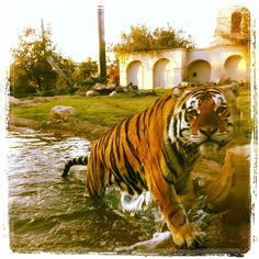 Mike VI, LSU Tigers mascot. Nothing like a good swim to get the Tiger blood pumping!