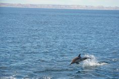 A happy dolphin in the Sea of Cortez! Picture from https://www.facebook.com/purelapaz