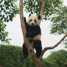 El #Oso #Panda una