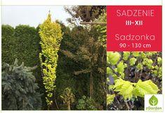 💛Żółte i 💚jasnozielone liście wiązu holenderskiego wyróżniają się na tle roślin z ciemnymi liśćmi.  #drzewaozdobne #wiązholenderski #ogród #rośliny Plants, Plant, Planets