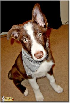 Read Arlo's story the Border Collie from Sacramento, California and see his photos at Dog of the Day http://DogoftheDay.com/archive/2013/January/04.html .