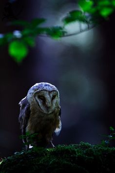 ♂ Lonely owl in the forest bokeh photography