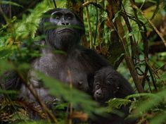 Mountain Gorillas, Africa    Photograph by Joel Sartore, National Geographic    Alert to human visitors, a young mountain gorilla and its mother sit tight in Bwindi Impenetrable Park. When the park opened in 1991, villagers resented losing access to forest where they had gathered honey and wood. Today the park shares the fees from gorilla-watching tours with the locals.    (photography.natio...)