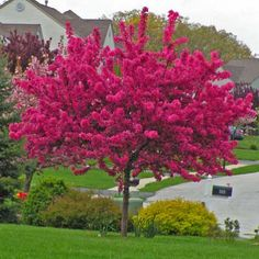 A Fiery Explosion of Vibrant Blossoms in Springtime Prairifire Crabapple tree Malus x Prairifire is one of the showiest trees you can plant in your yard In early spring. Landscape Trees, Crabapple Tree, Garden Landscape Design, Plants, Beautiful Flowers Garden, Beautiful Tree, Trees For Front Yard, Summer Flowers, Flowering Trees