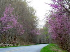 Oh I love red bud trees this time of yr