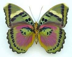 pink forester butterfly Euphaedra xypete SET US x1 Female A1- real Africa insect | eBay