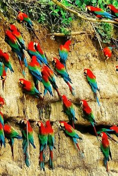 Macaws in the Peruvian Rain Forest