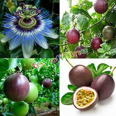 Buy Tropical Exotic Passion Fruit Seeds Purple Passiflora Edulis Germination at Wish - Shopping Made Fun Hydroponic Farming, Hydroponics, Garden Seeds, Planting Seeds, Apple Tree From Seed, Passion Fruit Flower, Fruit Seeds, Tree Seeds, Fruit Plants