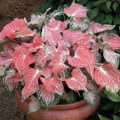 Quais plantas são tóxicas. As plantas tóxicas ou venenosas são aquelas que possuem elementos nocivos ao corpo humano, além de outros animais, algumas delas podem até chegar a serem letais. O que caracteriza uma planta tóxica sã...